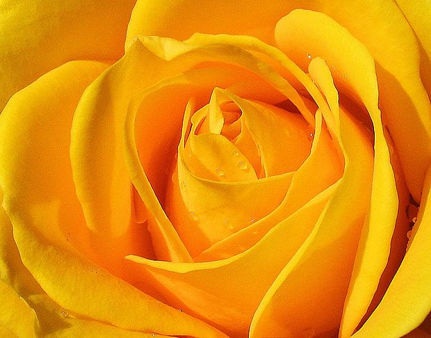 Vibrant yellow rose flowers pinterest flower photography vibrant yellow rose yellow flowersrose flowerscolor mightylinksfo