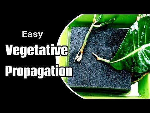 Photo of How to Propagate plant cutting Grow more trees by vegetative propagation  – How …