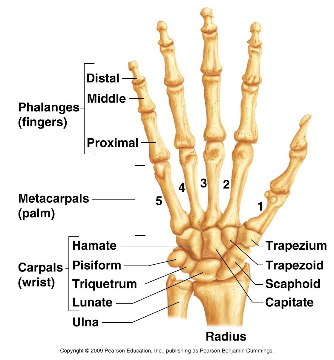 Hand and wrist bone structures | Anatomy & Physiology print outs ...