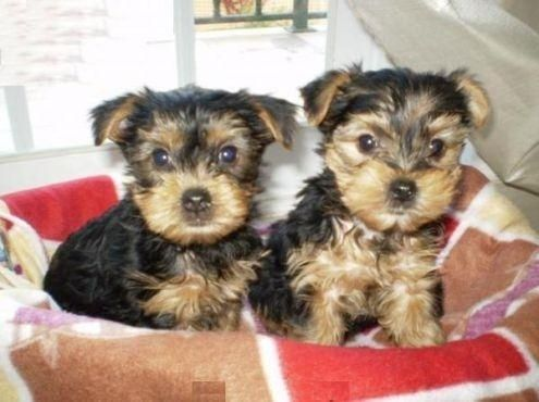 new mexico dogs for adoption | Cute Yorkie puppies for