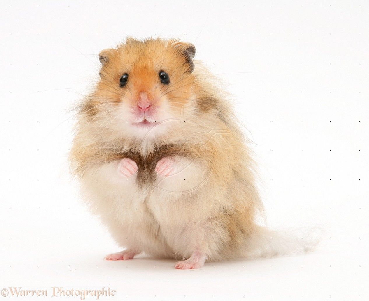 Long Haired Syrian Hamster Photo Syrian Hamster Hamster Cute Hamsters