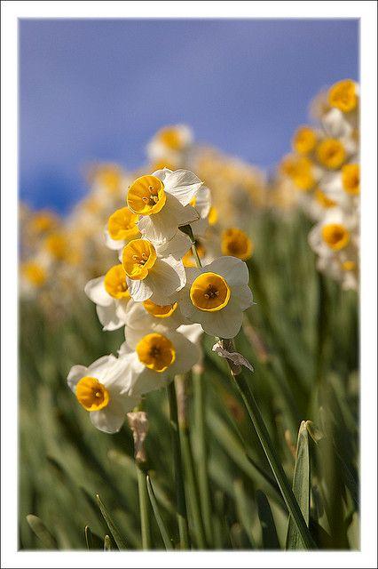 Awaji Daffodils Awaji Island Planting Flowers