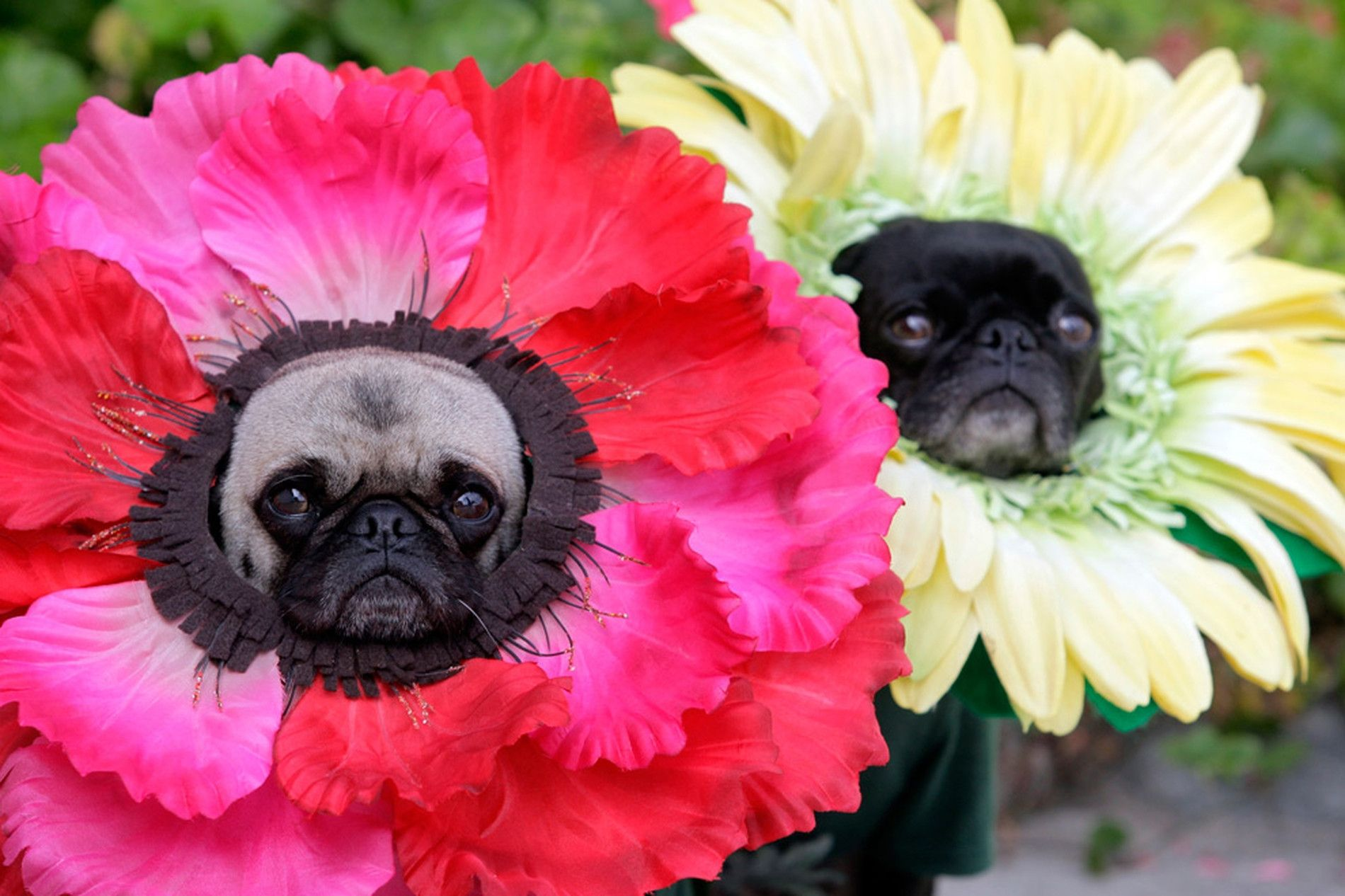 Pugs Mochi Left And Olive Pose For A Photo Dressed In Their
