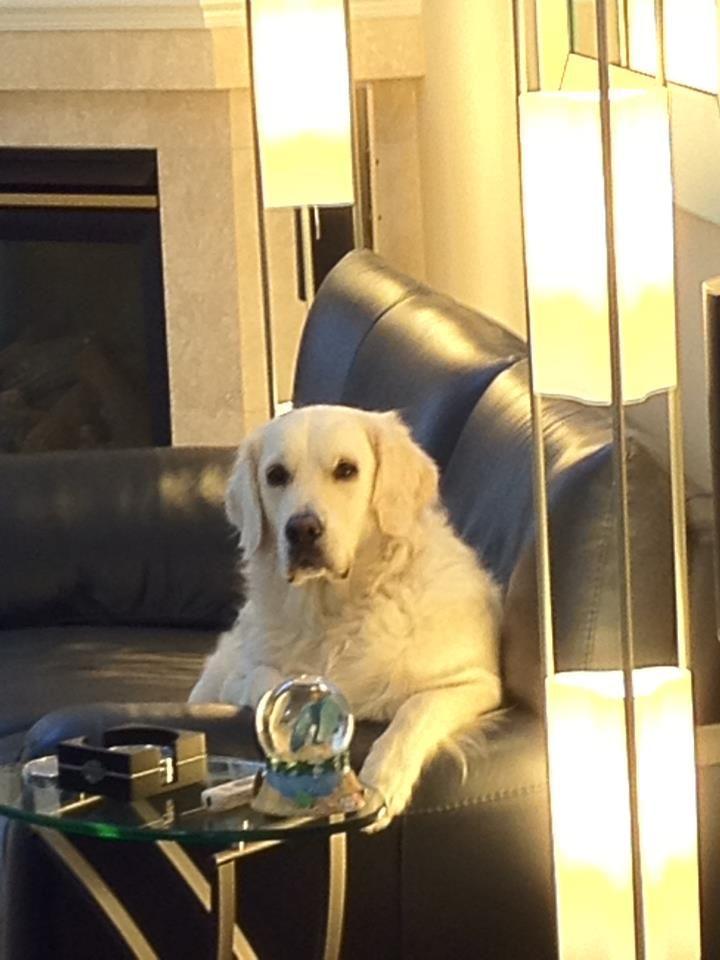 White English Cream Golden Retrievers White Sand Golden Retriever Past Litters Golden Retriever White Retriever Puppy Golden Retriever