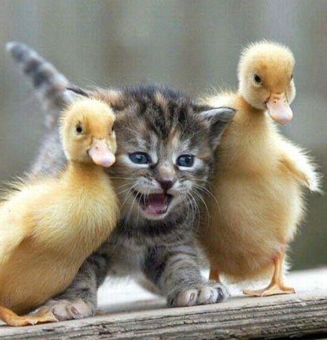 Kittens & ducklings: always adorable!