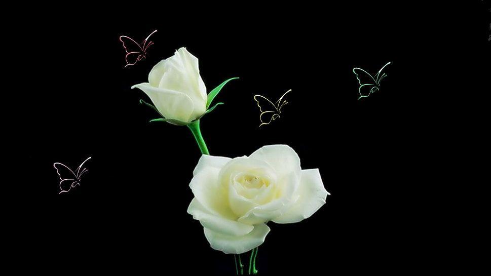 Rosas Blancas & Mariposas Wallpaper