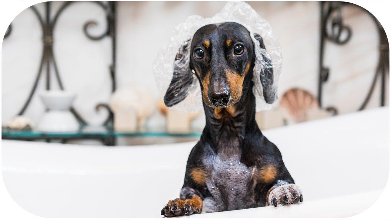 funny dachshund dog takes a bath pets animals videos youtube