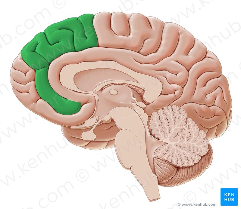 Medial frontal gyrus (Gyrus frontalis medius); Image: Paul Kim ...