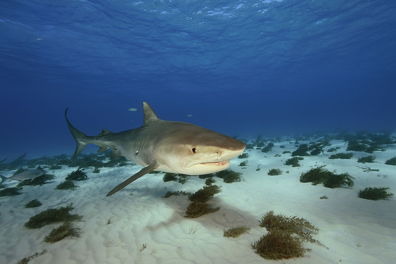 Tiger Shark at close quarters, a ferocious hunter that will take any kind of prey