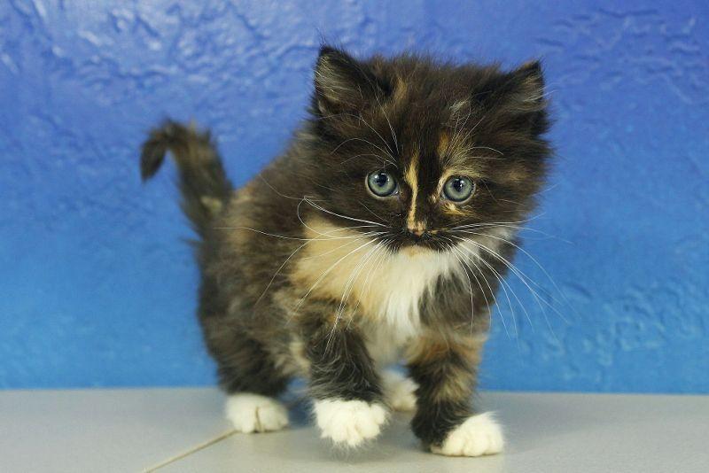 Black Calico Mitted Ragdoll Kitten Munchkincat Ragdoll Kitten