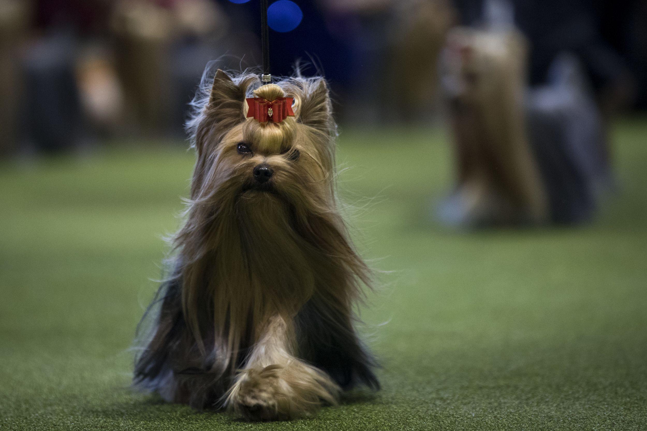club de race yorkshire terrier
