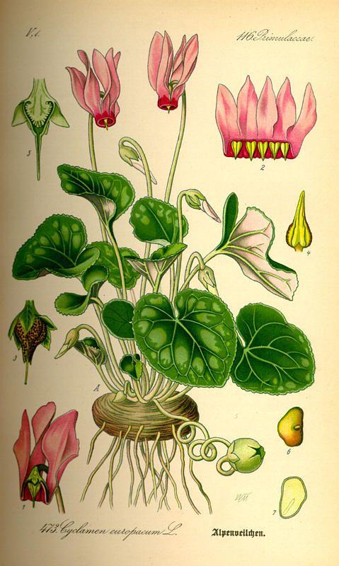 Flora von Deutschland Österreich und der Schweiz (1885) - Cyclamen purpuraescens