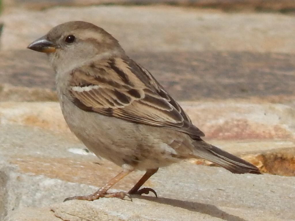 Female House Sparrow | My Pictures! | Pinterest | Bird ... - photo#22