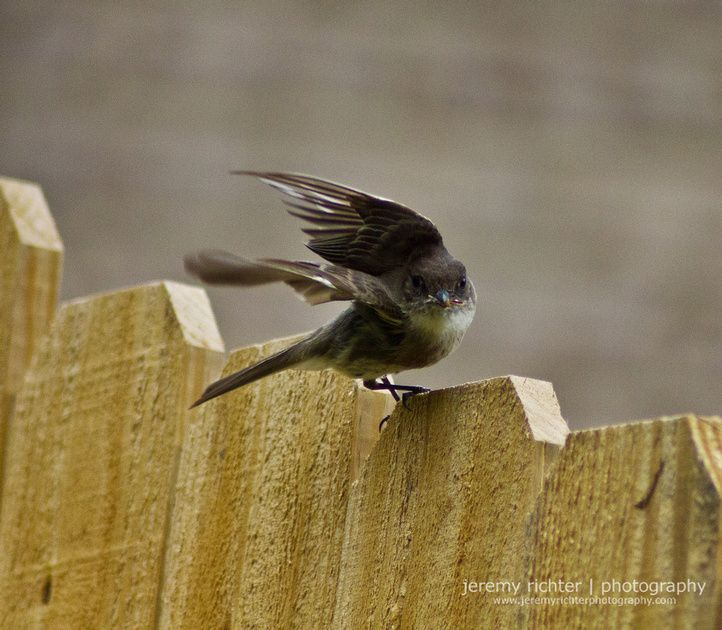 For the last three years, despite my best efforts to dissuade them, a couple of juncos have built a nest and hatched a little junco family above our porchlight before migrating north for the summer. So here's my write-up about them: http://blog.jeremyrichterphotography.com/2012/04/hosting-family-of-juncos-in-alabama.html.