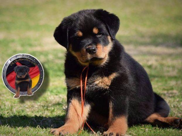 Image Result For German Rottweiler German Rottweiler Puppies