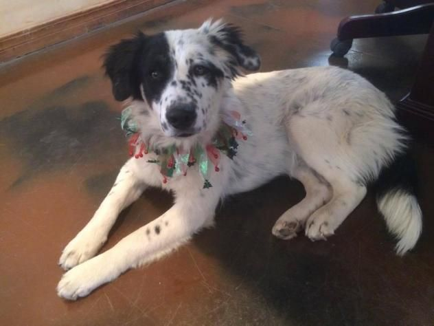 Adopt Whiskey On Collie Dog Collie Rescue Border Collie