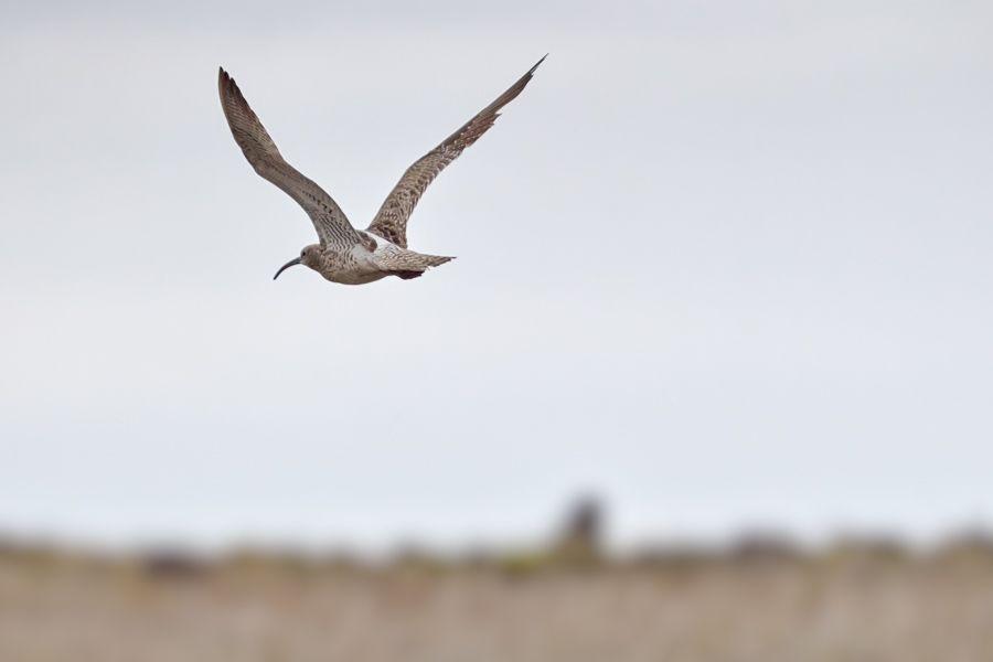Brachvogel: Ein großer Brachvogel (is Fjöruspói) im Süden Islands.