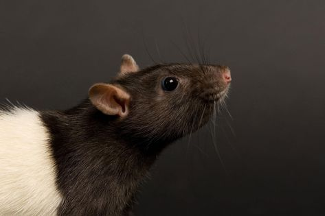 Mäuse spionieren Ratten über deren Tränen aus. #Mäuse #Ratten #Wissenschaft