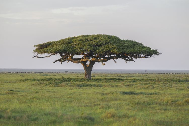 Discover Different Acacia Trees And Shrubs From Around The World Acacia Tree Acacia Dogwood Trees