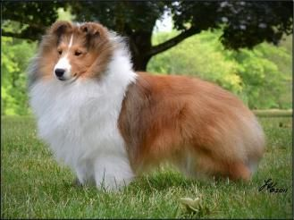 Akc Sheltie Puppies For Sale Missouri Sheltie Breeders Dog Branson