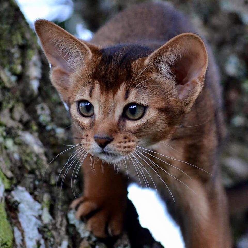 Miniature Cougar: Desert Rose, a ruddy Abyssinian kitten ...