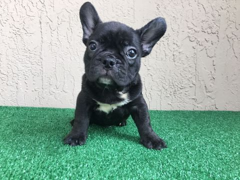 French Bulldog Puppy For Sale In Miami Fl Adn 27603 On