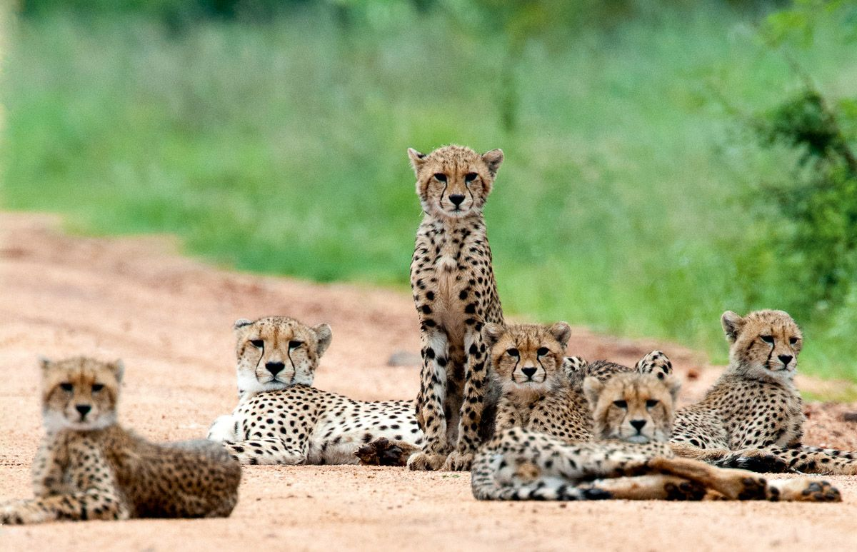 Cheetahs Of The Kruger National Park Are Not Easy To Find South African Animals Animals Cheetahs