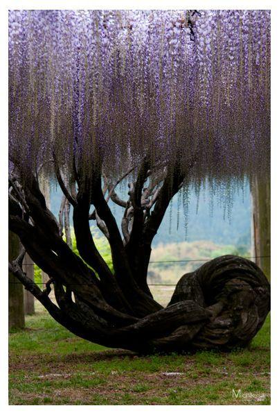 wysteria tree site:pinterest.com | Wisteria tree at Kawachi Wisteria Garden in Fukuoka, Japan