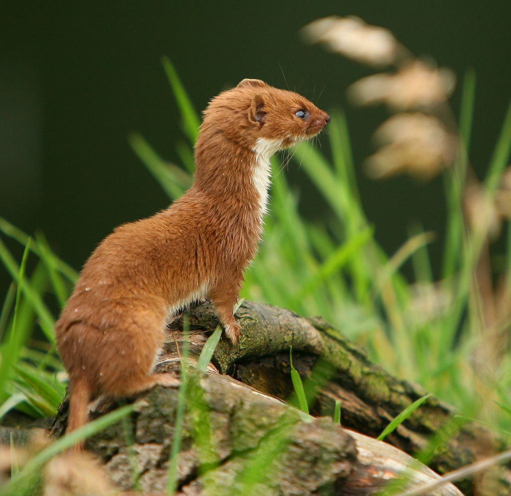 Indonesian Mountain Weasel