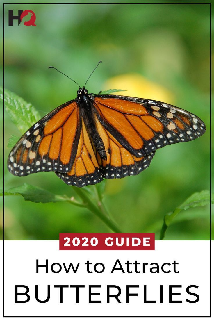 How to Attract Butterflies: 17 Tips (2020 Guide) | Plants ...