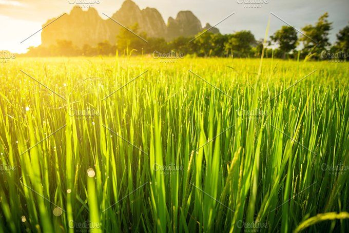 Paddy Rice Field Nature Photos Village Photography Stock Photos