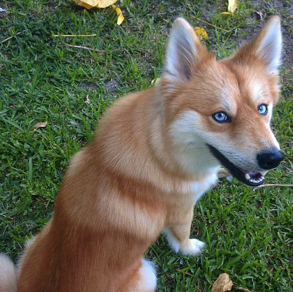 Dog Mixes That Looks Like Foxes