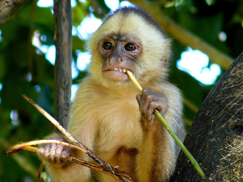 White Fronted Capuchins Are Medium Sized Monkeys That Are Notable