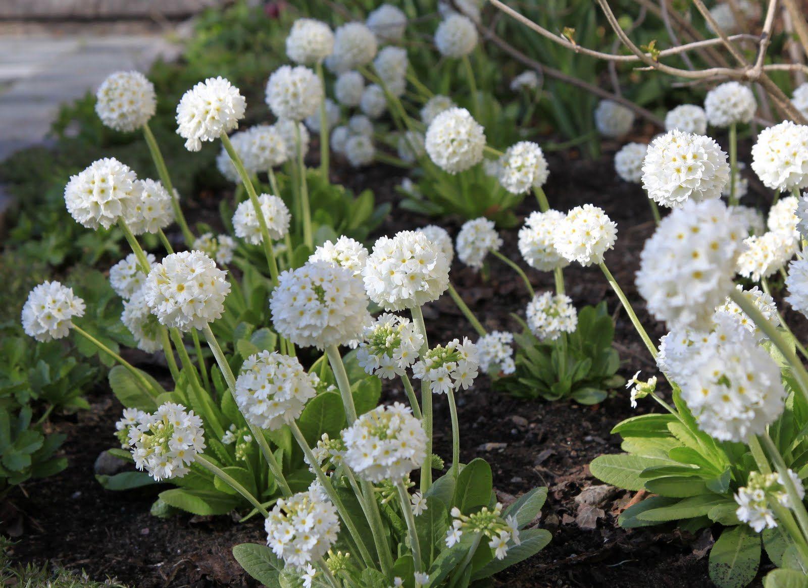 Primula Denticulata Alba P L A N T S Pinterest White Gardens
