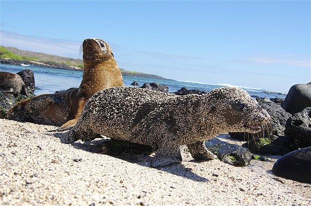 A young sea lion pup, covered in sand, walks across the beach.