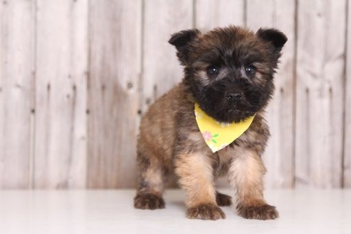 Soft Coated Wheaten Terrier Puppy For In Mount Vernon