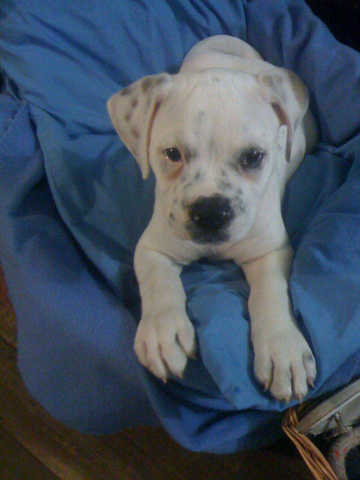 American Bulldog Puppy Tahe Bulldog, Labrador retriever