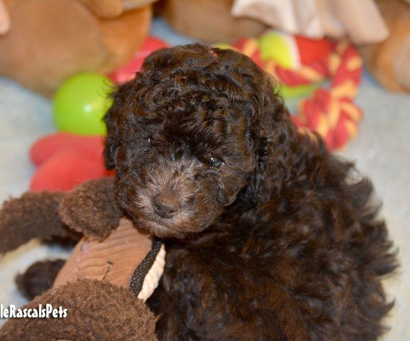 Cavapoo puppy for sale 373388 little rascals pets ltd