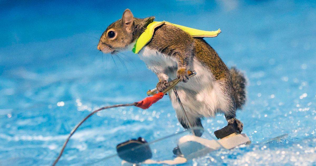 Twiggy the squirrel WATERSKIS around pool Animals