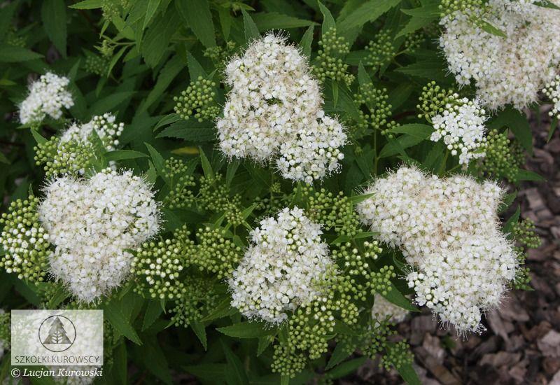 Tawula Japonska Albiflora Biale Kwiaty C2 8527791323 Allegro Pl