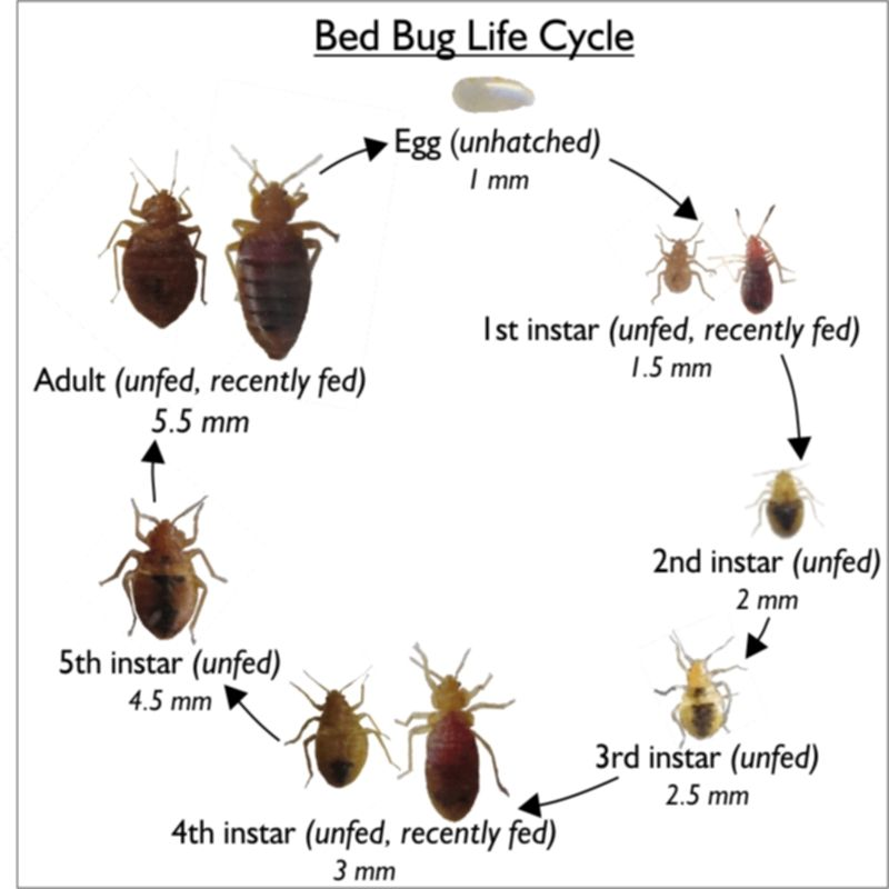 Bed Bugs Google Search Bed Bugs Bed Bug Bites Bugs