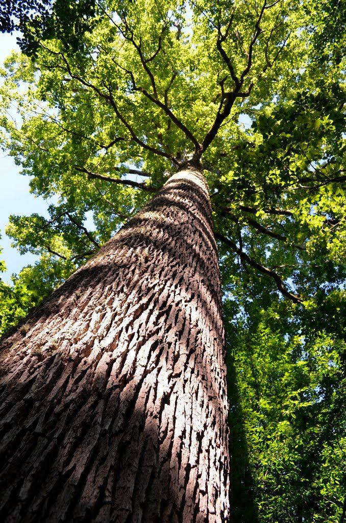 Forêt de Tronçais.  Plus belle forêt de chênes de France