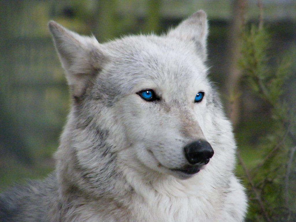 Картинки с синими глазами волков