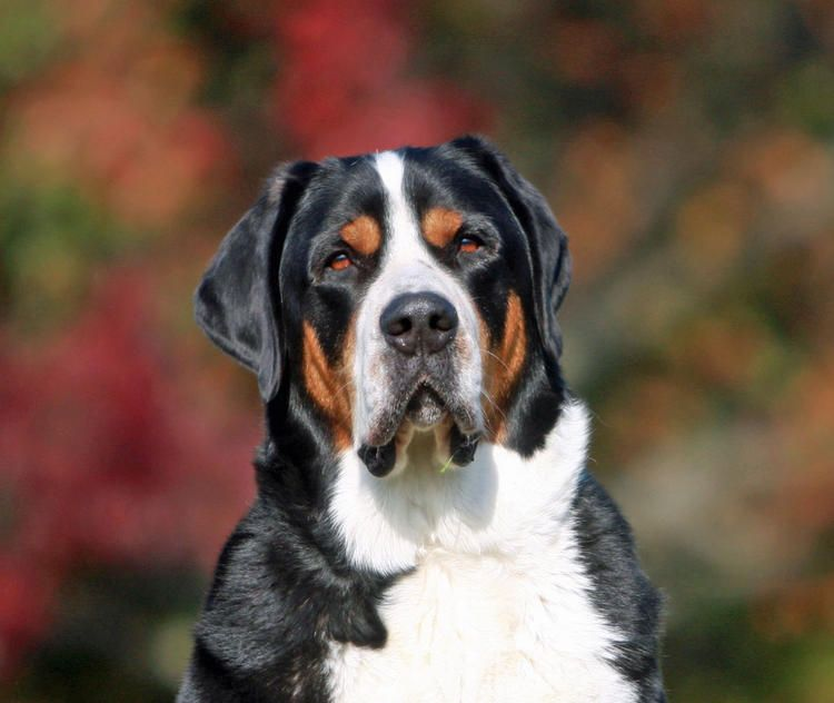 Shepherd Our Swissy Greater Swiss Mountain Dog With Images
