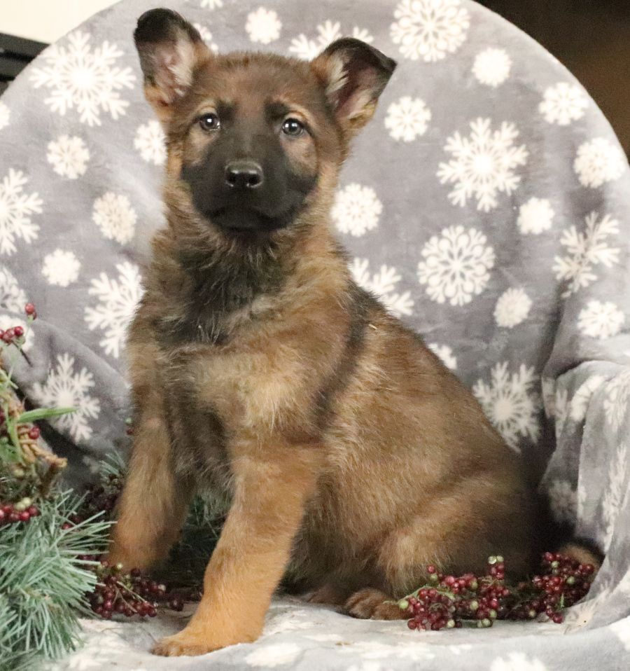 Puppies for Sale (With images) German shepherd puppies