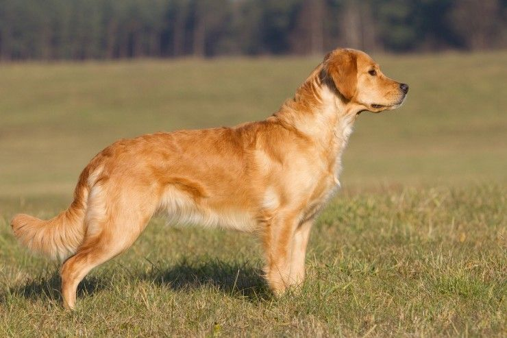 All About Working Dog Types Dogs Golden Retriever Golden