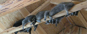 4 Crucial Steps To Get Raccoons Out Of Your Attic Raccoon Removal Raccoon Removal Services