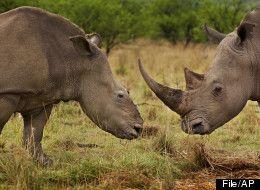 Rhinoceros Horn Smuggling Ring Busted By Federal Wildlife Investigators - Full article - http://www.huffingtonpost.com/2012/02/23/rhinoceros-horn-smuggling_n_1295733.html?ref=green&ncid=edlinkusaolp00000009
