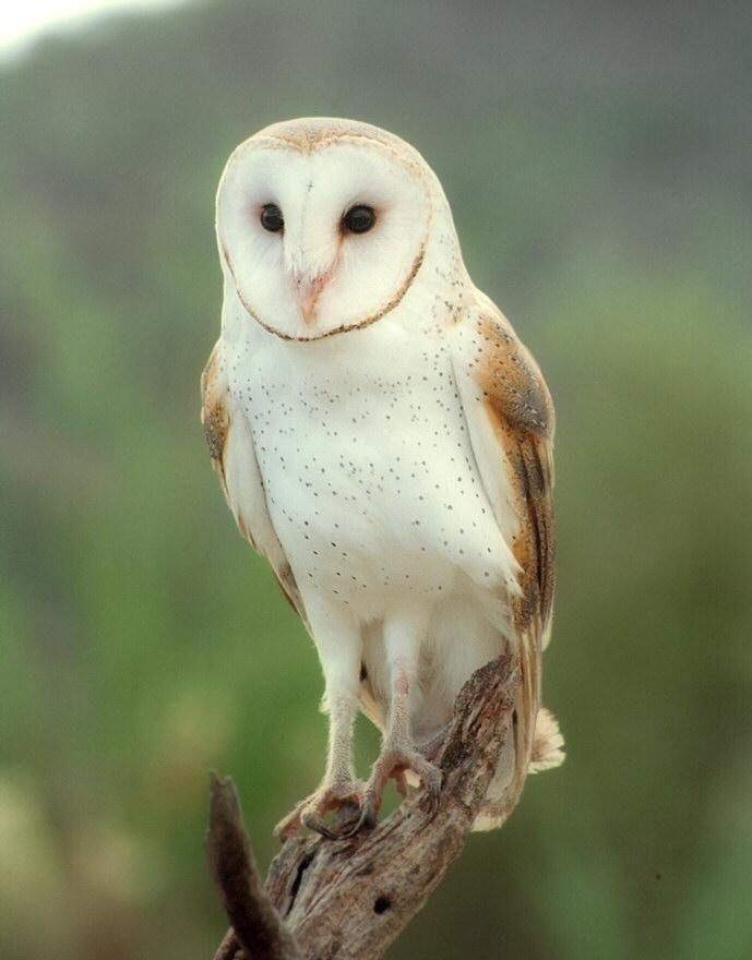 Barn Owl Barn Owl Owl Beautiful Owl