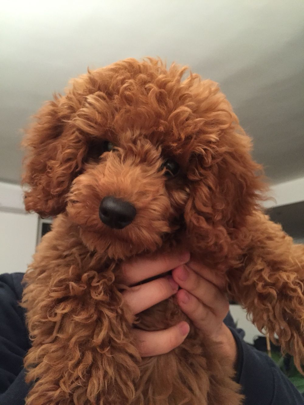 Eris Red Poodle Cute Puppy Breeds Red Poodles Toy Poodle